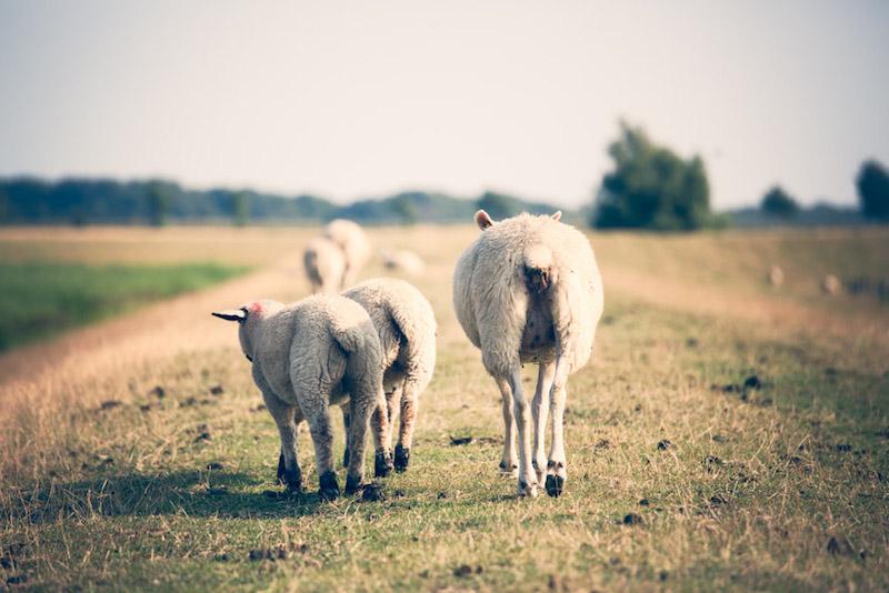 fehmarn ostsee Schafe
